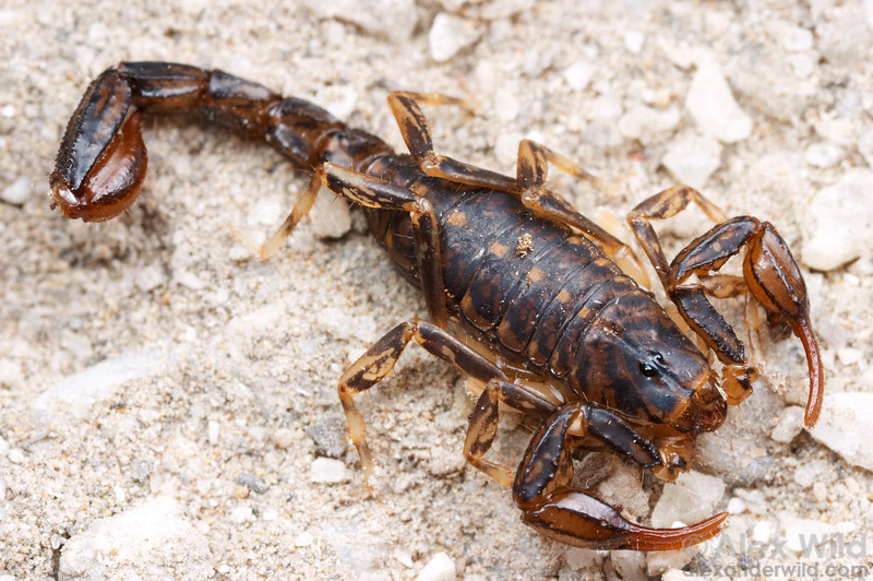 Lychas sp. marbled scorpion.  Wilson's Promontory National Park, Victoria, Australia