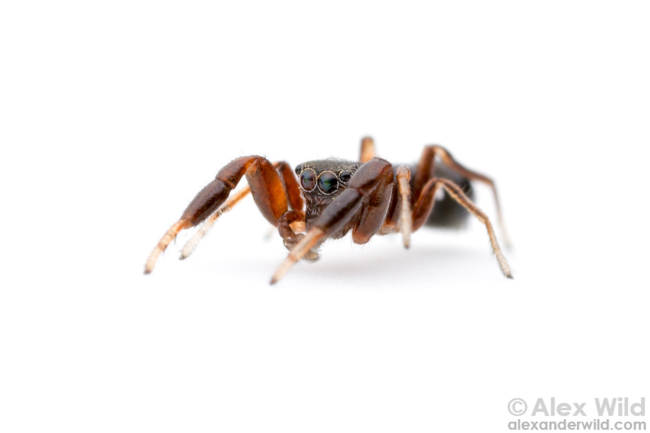 This male Peckhamia jumping spider mimics ants, presumably as protection against predators that find ants unpalatable.  Urbana, Illinois, USA