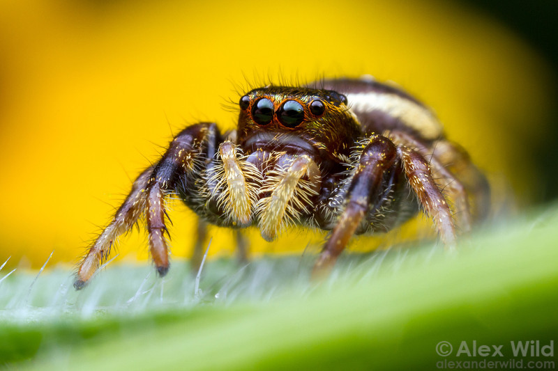 Portrait of a female Paraphidippus aurantius jumping spider.  Urbana, Illinois, USA