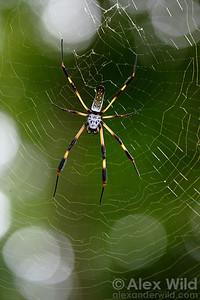 Nephila clavipes golden silk spider.  Isla Contadora, Panama