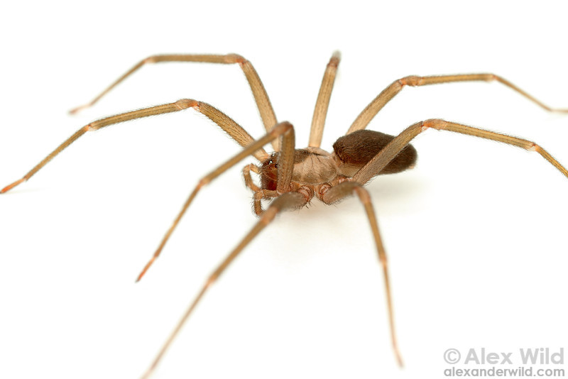 Loxosceles reclusa - brown recluse spider  Gray Summit, Missouri, USA