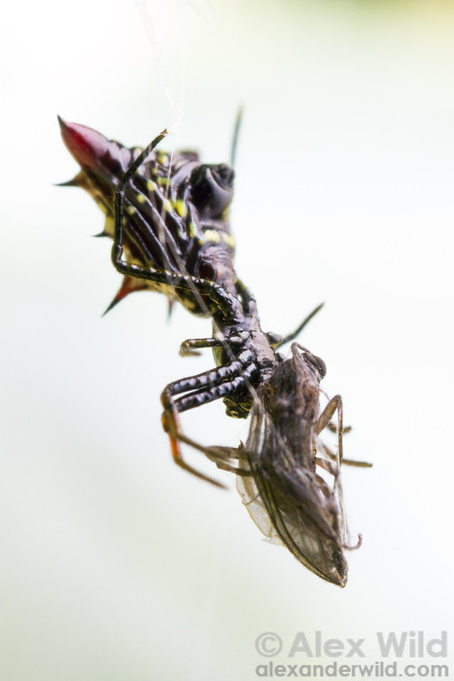 A Micrathena spiny orb weaver feeds on a fly she has caught.  Armenia, Belize