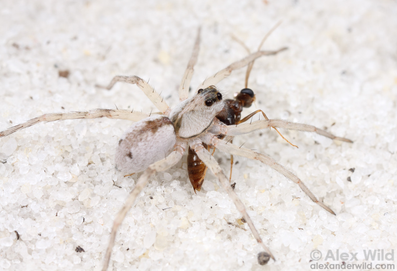 This wolf spider (Lycosidae)- perfectly camouflaged against the white sand- has captured a male ant.  Florida, USA