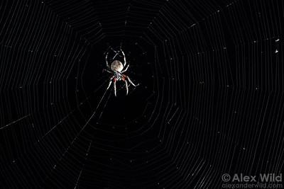 Neoscona sp. barn spider.  Urbana, Illinois, USA