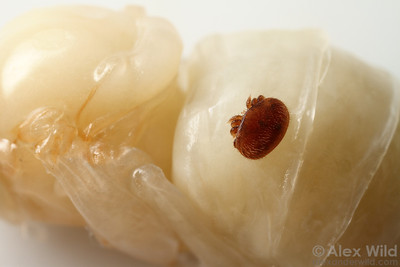 An adult Varroa destructor mite on a bee pupa.  Urbana, Illinois, USA