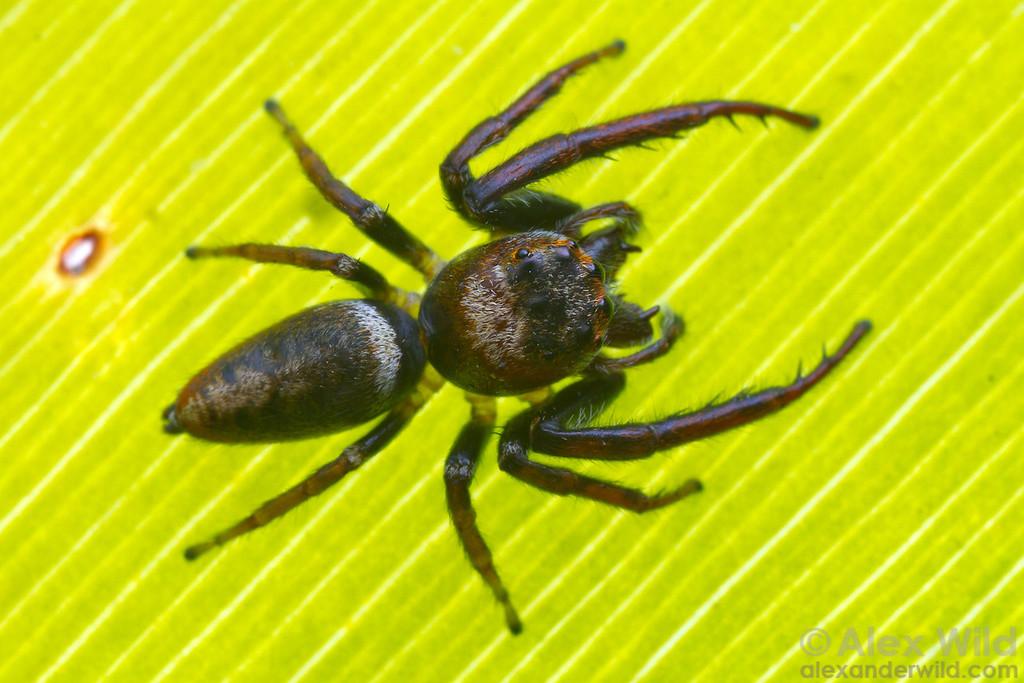 Jumping spider (Salticidae).  Diamond Creek, Victoria, Australia