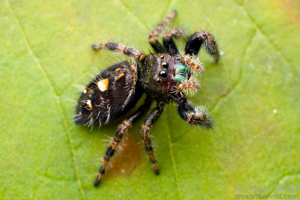 Portrait of a Phidippus jumping spider.  Urbana, Illinois, USA