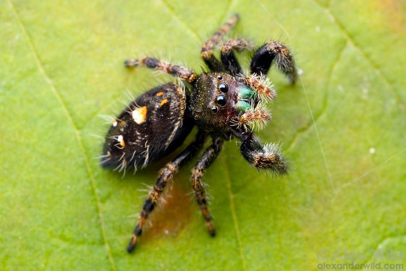 Portrait of a Phidippus jumping spider.  Urbana, Illinois, USA