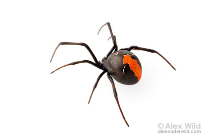 Latrodectus hasselti, Australia's infamous Redback spider. Although this species is both venomous and common, no human deaths have been reported from redback bites since the development of an effective antivenom in the 1980s.  Yandoit, Victoria, Australia
