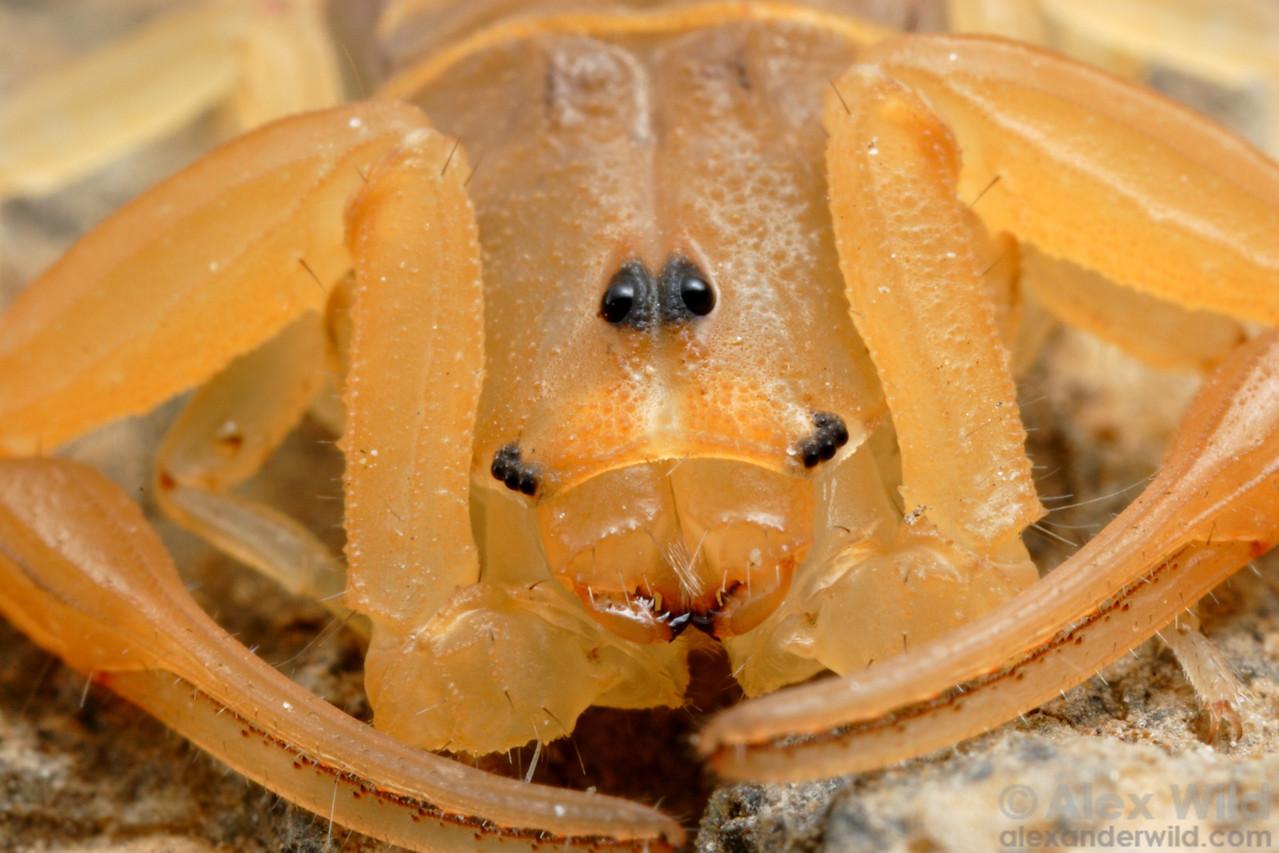 Centruroides sculpturatus, the Arizona bark scorpion.  Tucson, Arizona, USA