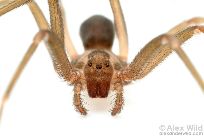 "The brown recluse spider Loxosceles reclusa is a much-feared arachnid found in the central United States. The spider's venom can digest flesh, leading to serious medical issues, but recluse spiders are shy and many suspected ""bites"" are mistaken diagnoses of other skin conditions.  Gray Summit, Missouri, USA"