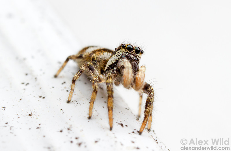Salticus scenicus, the zebra spider, is a European jumping spider that is now common across North America.  Urbana, Illinois, USA