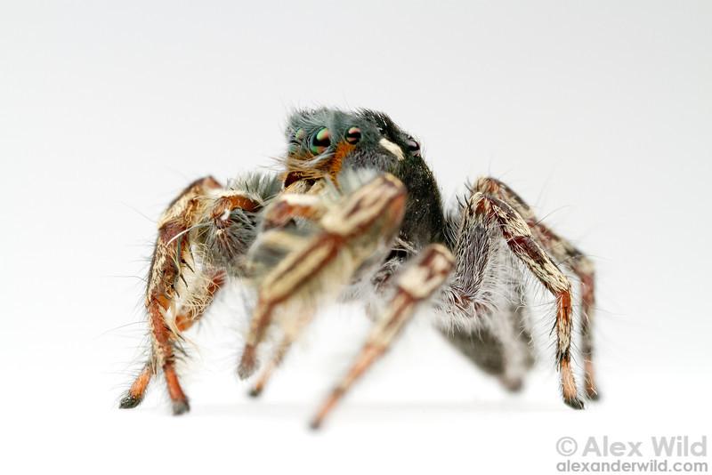A male Phidippus putnami jumping spider (Salticidae).  Urbana, Illinois, USA