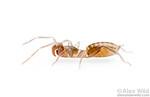 Belicenochrus pentalatus