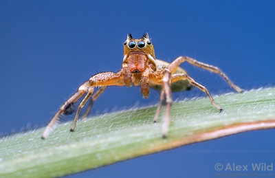 The male Tutelina elegans jumping spider is ornamented with tufts on his head and forelegs.  Urbana, Illinois, USA