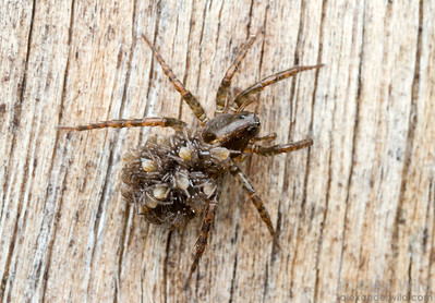Wolf spiders (Lycosidae) make excellent mothers. Here, a female carries babies on her abdomen.  Diamond Creek, Victoria, Australia