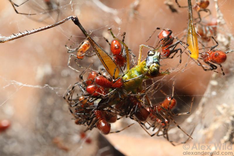 Anelosimus social spiders cooperate to capture a grasshopper.  Jatun Sacha reserve, Napo, Ecuador