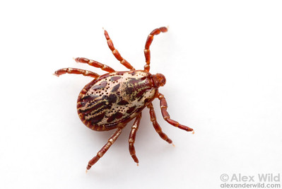 American dog tick Dermacentor variabilis (male)  Laboratory animal at the University of Illinois at Urbana-Champaign