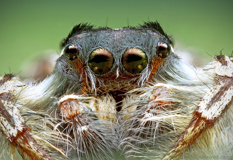 Phidippus putnami jumping spider, male. This image is a focus-stacked composite of 27 exposures taken at different focal depths.  Urbana, Illinois, USA