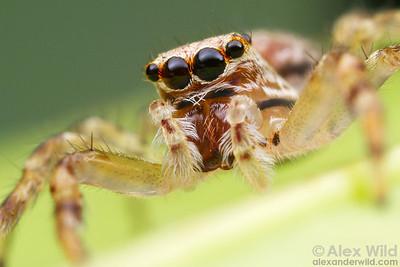 Helpis minitabunda - Aussie Bronze Jumping Spider (Salticidae)  Yandoit, Victoria, Australia