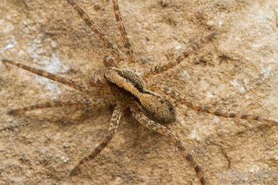Wolf spider.  Urbana, Illinois, USA