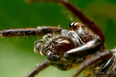 Up close with an Australian jumping spider (Salticidae).  Diamond Creek, Victoria, Australia