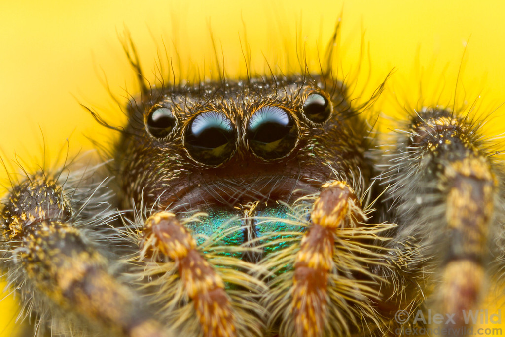 The saucer-shaped eyes of Phidippus jumping spiders help them to track and capture prey.  Urbana, Illinois, USA