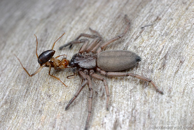 A Camponotus ant falls prey to a Hemicloea flat bark spider in the Australian mallee.  Poochera, South Australia