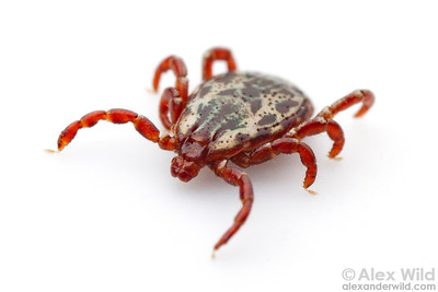 American dog tick Dermacentor variabilis  Laboratory animal at the University of Illinois at Urbana-Champaign