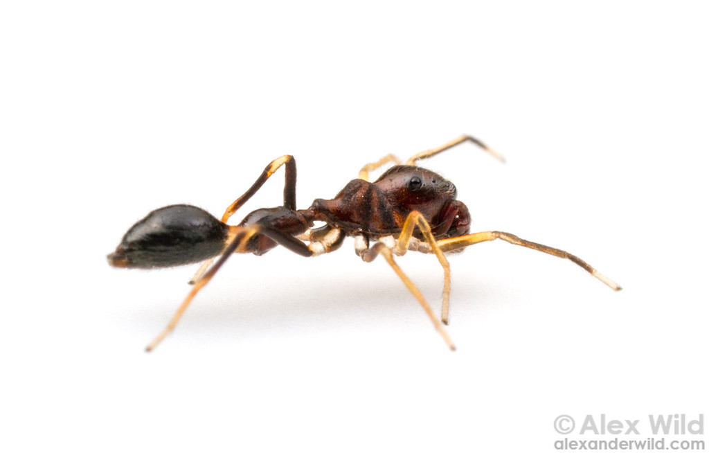 Synemosyna formica, a jumping spider, is one of North America's most convincing ant-mimics.  Gainesville, Florida, USA