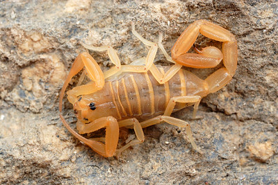 Centruroides sculpturatus, the Arizona bark scorpion.  Tucson, Arizona, USA