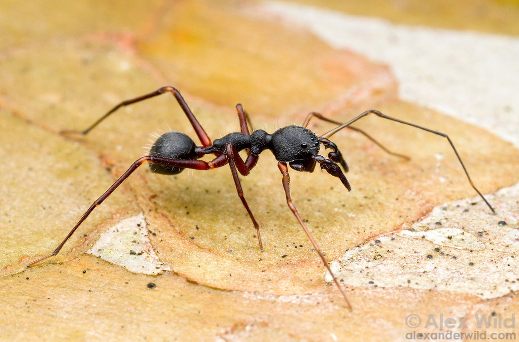 The delicate build and sabre-like pedipalps of this Brazilian clubionid spider help it to mimic the painfully-stinging trap-jaw ants of the genus Odontomachus.  Morretes, Paraná, Brazil