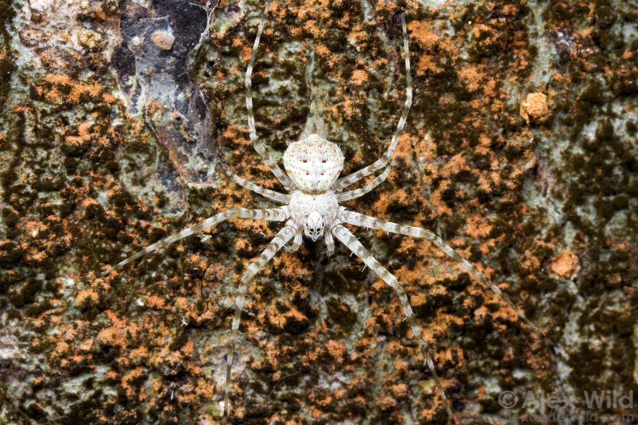 A two-tailed spider (Hersiliidae) rests on a tree trunk in an urban forest fragment.  Viçosa, Minas Gerais, Brazil