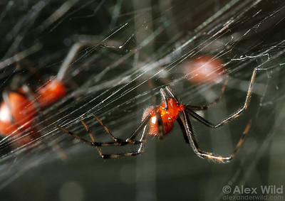 Anelosimus social spiders.  Jatun Sacha reserve, Napo, Ecuador