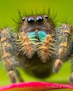 Up close with a Phidippus jumping spider (Salticidae).  Urbana, Illinois, USA