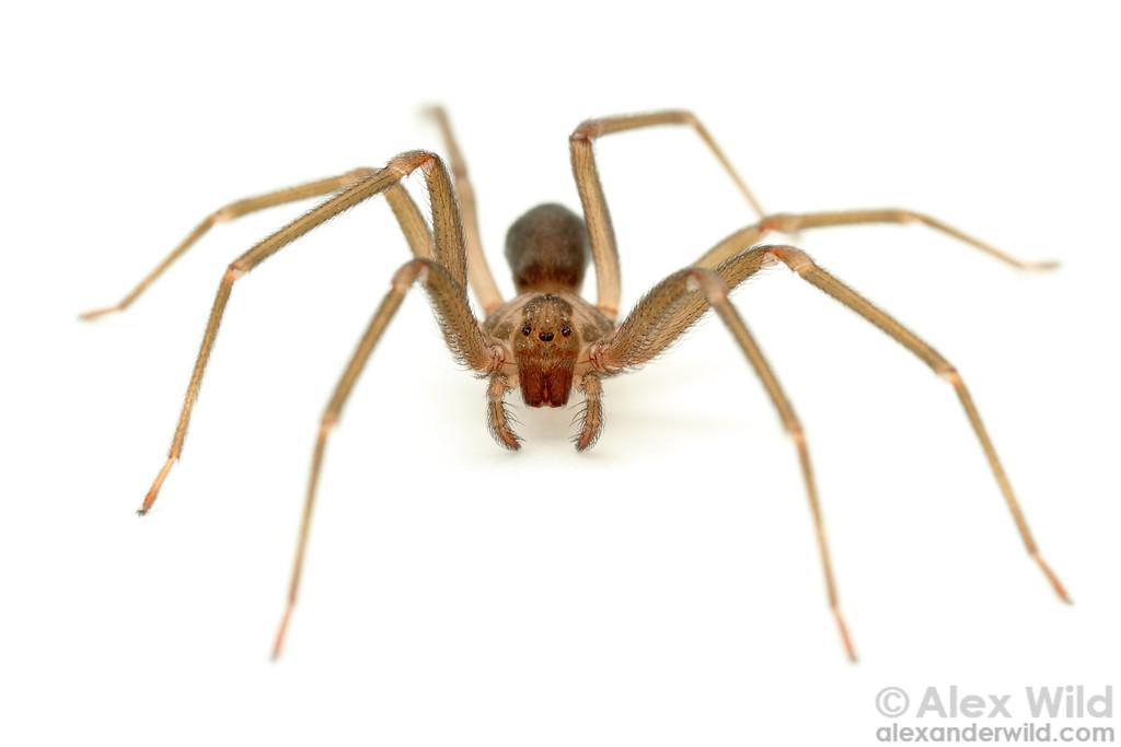 Loxosceles reclusa - brown recluse spider  Gray Summit, Missouri, USA