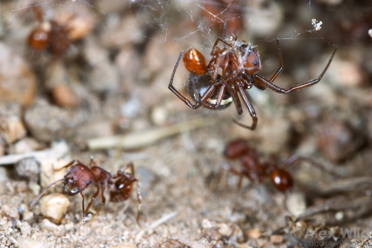 This immature widow spider (Latrodectus hesperus)  has built her web across a harvester ant nest entrance where she can easily catch incoming and outgoing worker ants.  Hallelujah Junction, California, USA