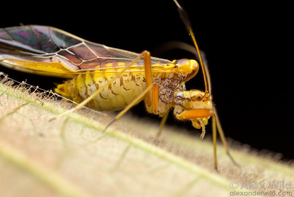 Thyrsophorinae - bark louse