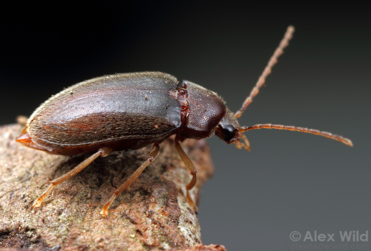 Ptilodactyla toe-winged beetle.  Urbana, Illinois, USA