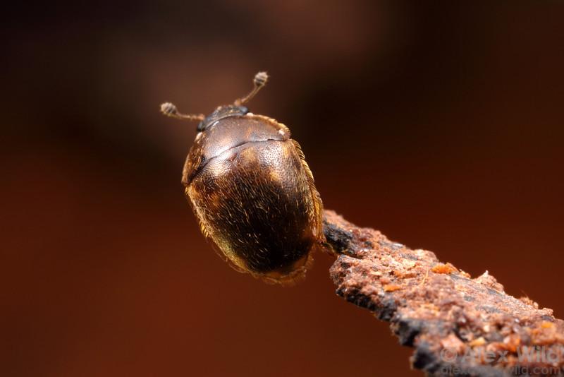 Amphicrossus ciliatus sap beetle (Nitidulidae).  Champaign, Illinois, USA