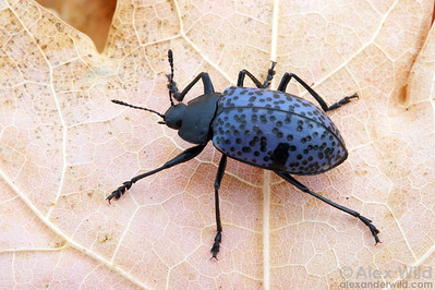 Gibbifer californicus - Pleasing Fungus Beetle. Huachuca Mountains, Arizona, USA.  filename: gibbifer1