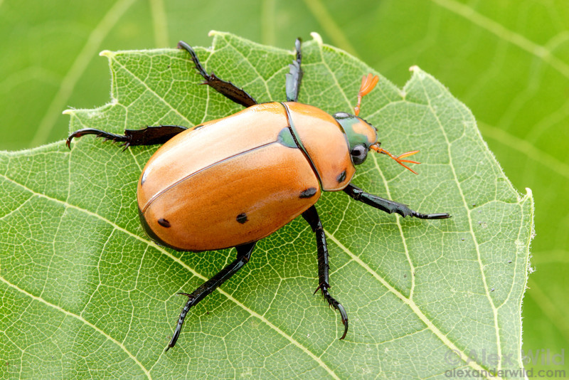 Pelidnota punctulata - Grapevine Beetle, Illinois, USA.  filename: pelidnota2