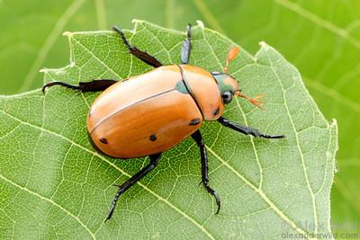 Pelidnota punctulata - Grapevine Beetle, Illinois, USA.  filename: pelidnota2