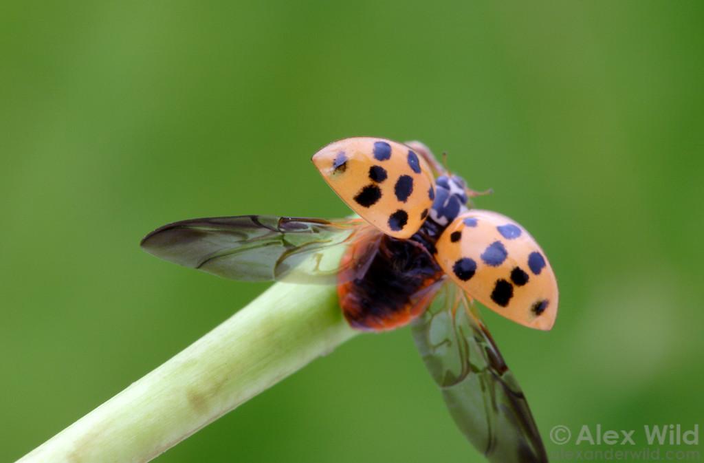 Harmonia axyridis - Asian Multi-Colored Ladybeetle, taking flight.  Illinois, USA.  filename: Harmonia4