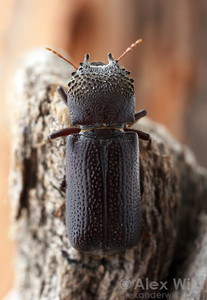 Apatides fortis - Bostrichidae.  Tucson, Arizona, USA.  filename: Bostrichid4