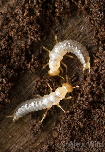 Rove beetle larvae (Staphylinidae) in a rotting log.  Kibale forest, Uganda