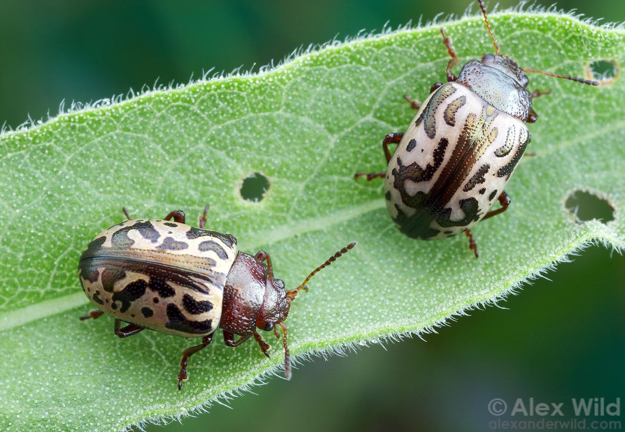 Zygogramma sp. Leaf Beetles.  Huachuca Mountains, Arizona, USA.  filename: Zygogramma1