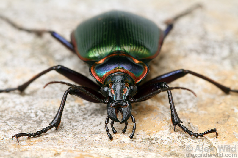 Calosoma scrutator - the fiery searcher (Carabidae). This colorful beetle is among North America's most attractive native insects.  Savoy, Illinois, USA