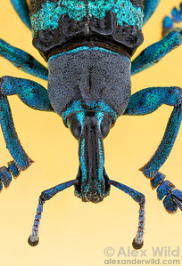 Eupholus weevil (Focus-stacked composite image).