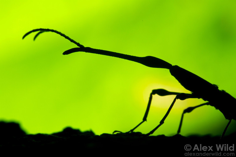 A male straight-snouted weevil (Brentidae) silhouetted against a leaf in an Australian rain forest.  Cape Tribulation, Queensland, Australia